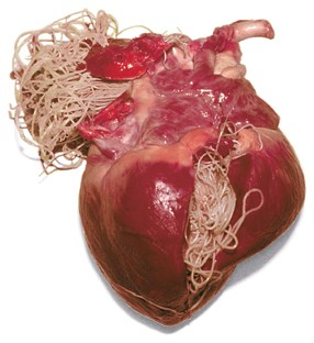 heartworm-disease